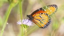 A Queen Butterfly (Danaus Gili...