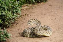 Coiled Rattlesnake At Trail Ed...