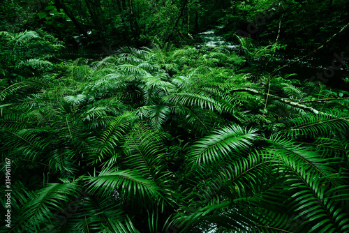 Tropical fern bushes background lush green foliage in the rain forest with natur Canvas Print