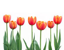 Tulip Flowers In A Row Isolat...
