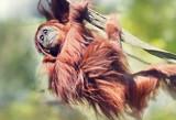 Fototapeta Zwierzęta - Orangutan on the tree.