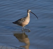 A Long-billed Curlew (Numenius...