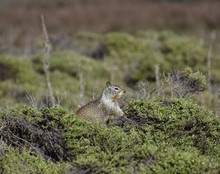 A California Ground Squirrel (...