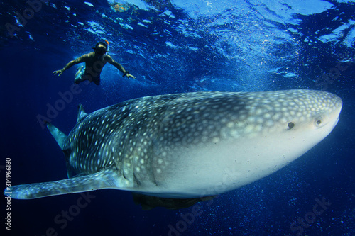Snorkeling with large Whale Shark Wallpaper Mural