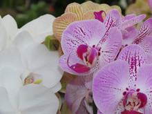 Flower For Spring. White Orchids With Purple Details. Many Orchids