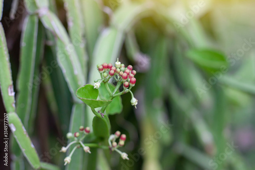 Edible stemmed vine is herb of Thailand is Treat of Hemorrhoid and Resolve Flatulence Canvas-taulu