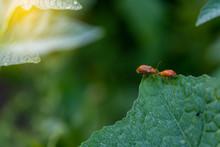 Couple Of Ladybugs On A Pumpki...