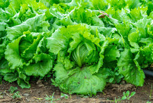 Farm With Iceberg Lettuce Plan...