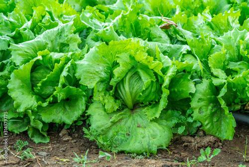 farm with iceberg lettuce plantation