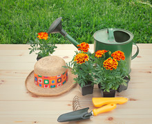 Outdoors Seedlings Of Marigold...