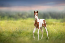 Pinto Foal Walk On Meadow