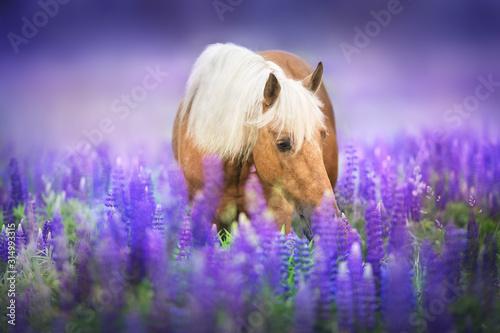 Obraz Palomino koń z długą grzywą w łubinie - fototapety do salonu