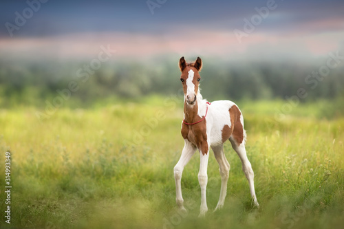 Fototapeta Pinto foal walk on meadow