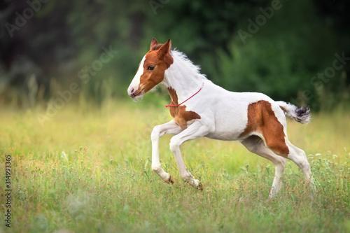 Fotomural  Pinto foal run gallop on meadow