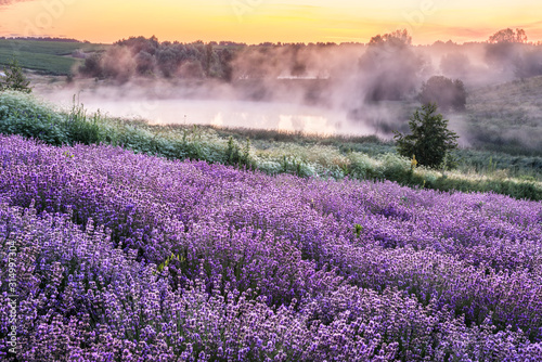 Colorful flowering lavandula or lavender field in the dawn light.