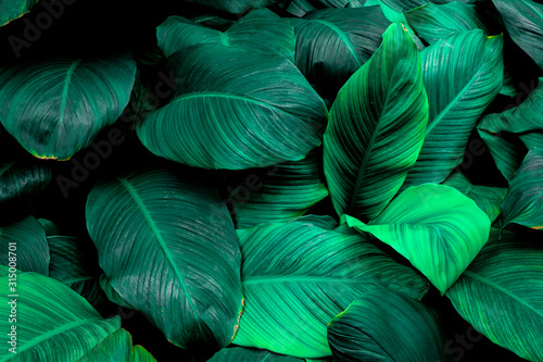 leaves of Spathiphyllum cannifolium, abstract green texture, nature background, tropical leaf #315008701