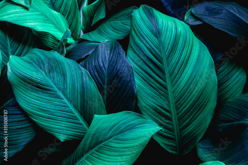leaves of Spathiphyllum cannifolium, abstract green texture, nature background, tropical leaf #315008787