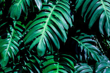 Green Monstera Leaf Background...
