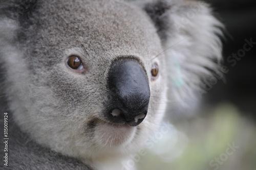 Obraz koala in a tree - fototapety do salonu