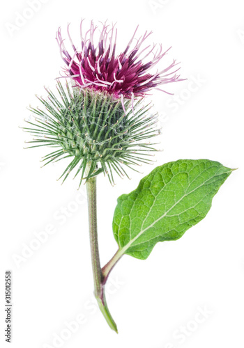 Fotografia Prickly heads of burdock flowers isolated on white background.