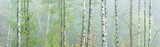 Panoramic Background Wallpaper of Foggy Birch Forest in Autumn