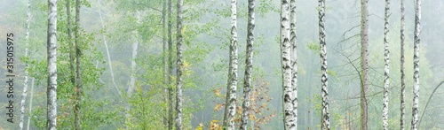 Panoramic Background Wallpaper of Foggy Birch Forest in Autumn Canvas Print