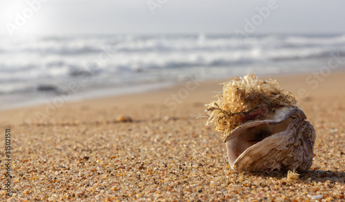 Photo open shell with seaweed attached on the sand with the ocean in the background