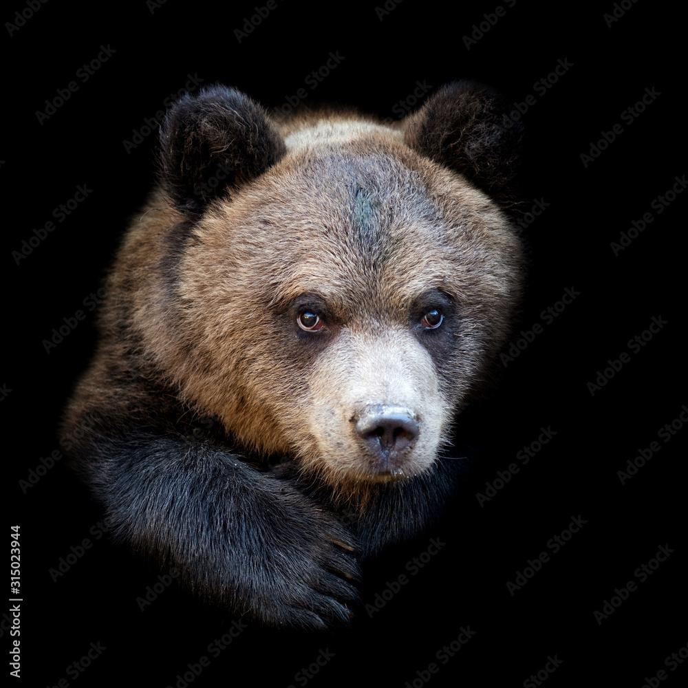 Fototapeta Bear on dark background