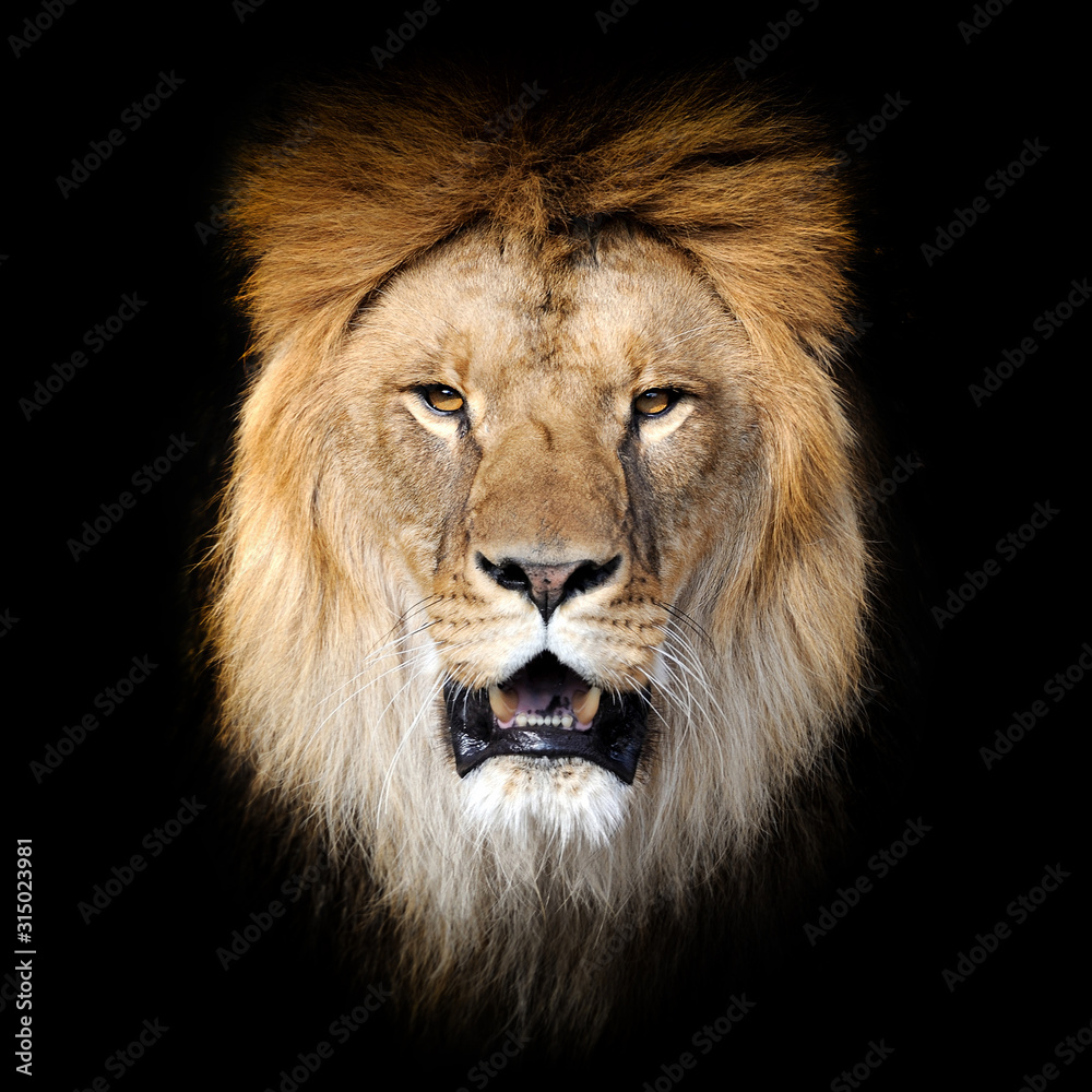 Fototapeta Lion on dark background