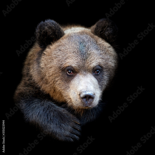 Fototapeta Bear on dark background obraz