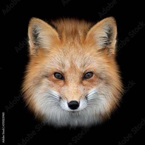 Red fox  on dark background Canvas Print