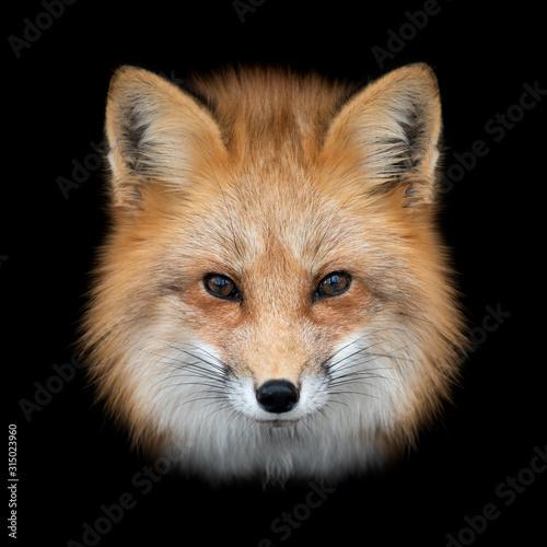 Photo Red fox  on dark background