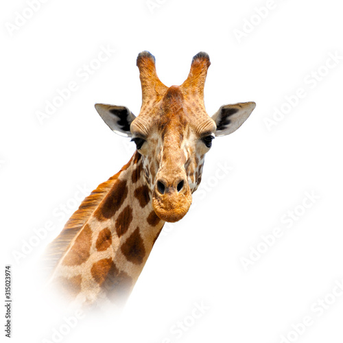 Giraffe on white background Canvas-taulu