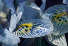 Katharine Hodgkin Dwarf Iris (...