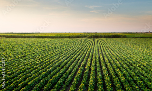 Open soybean field at sunset.