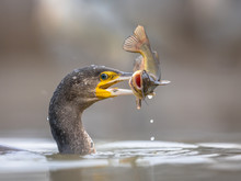 Great Cormorant Eating Black Bullhead Fish