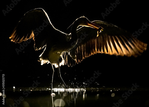 Silhouette of Grey heron with spread wings at night Canvas Print