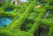Green Leaves Plant Of Ivy Grow...