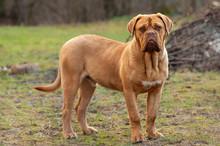 French Mastiff Or Bordeaux Dog...