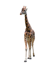 Young Funny Giraffe Standing F...