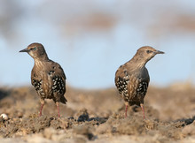 Two Young Starlings Stand On The Ground And Look Directly Into The Camera
