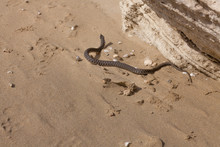 Water Snake Crawls On The Sand...
