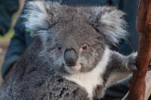 Close Up Of Cute Koala Bear An...