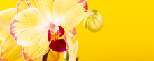 Most Commonly Grown House Plants. Close Up Of Orchid Flower Yellow Bloom. Phalaenopsis Orchid. Botany Concept With Copy Space. Banner.