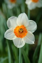 Narzissen Weiß Orange Narcissus Blume Frühblüher Winter Ostern Frühling Blüte Blumenzwiebeln Garten Park Deutschland Farben Pflanze