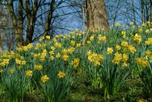 Narzissen Gelb Narcissus Blume Frühblüher Winter Ostern Frühling Blüte Blumenzwiebeln Garten Park Deutschland Farben Pflanze