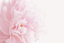 Pink Peony In Pastel Delicate ...