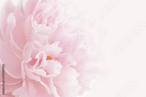Leinwand Poster Pink peony in pastel delicate colors close up.