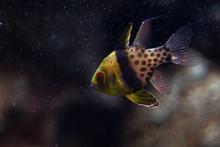 Cardinalfish - Apogonidae - Pterapogon Kauderni. Small Tropical Cardinal Fish Underwater. Very Popular In The Aquarium Trade.