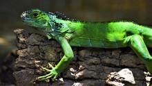 Green Iguana On Tree